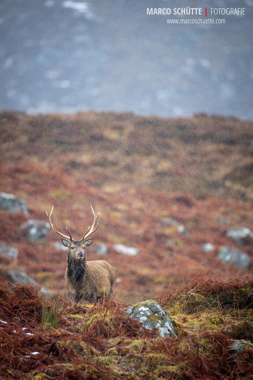 Ein für schottische Verhältnisse starker Rothirsch.