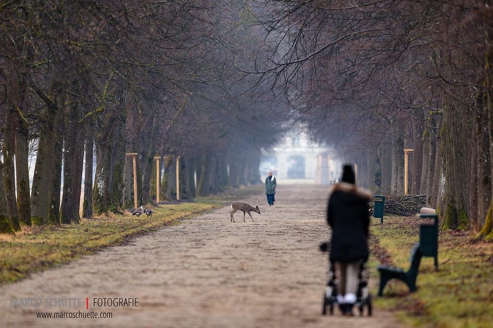 Solange das Wegegebot beachtet wird, kommen Mensch und Tier im Schlosspark gut miteinander aus. Rehe sind Gewohnheitstiere. Alles was außerhalb der alltäglichen Norm passiert, z.B. Menschen abseits der Wege, bedeutet Stress für die Tiere und die Sichtbarkeit sinkt.