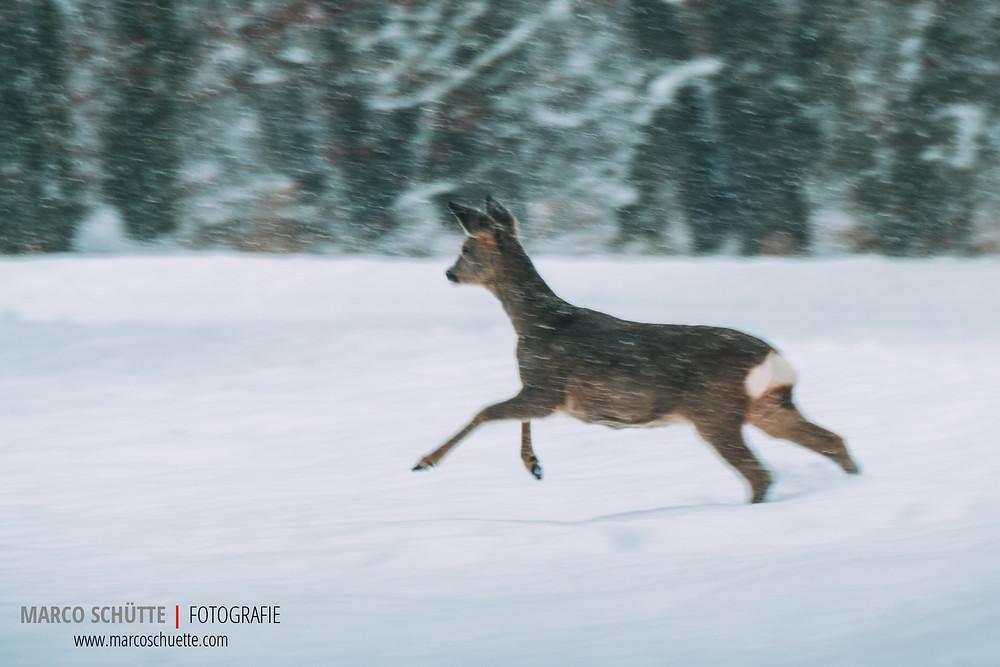 Rehgeiß auf der Flucht im dichten Schneetreiben Mitte Januar. Fuji X-T2 mit Fuji XF 100-400, 1/125 Sek, f 5.6, ISO 250, freihand