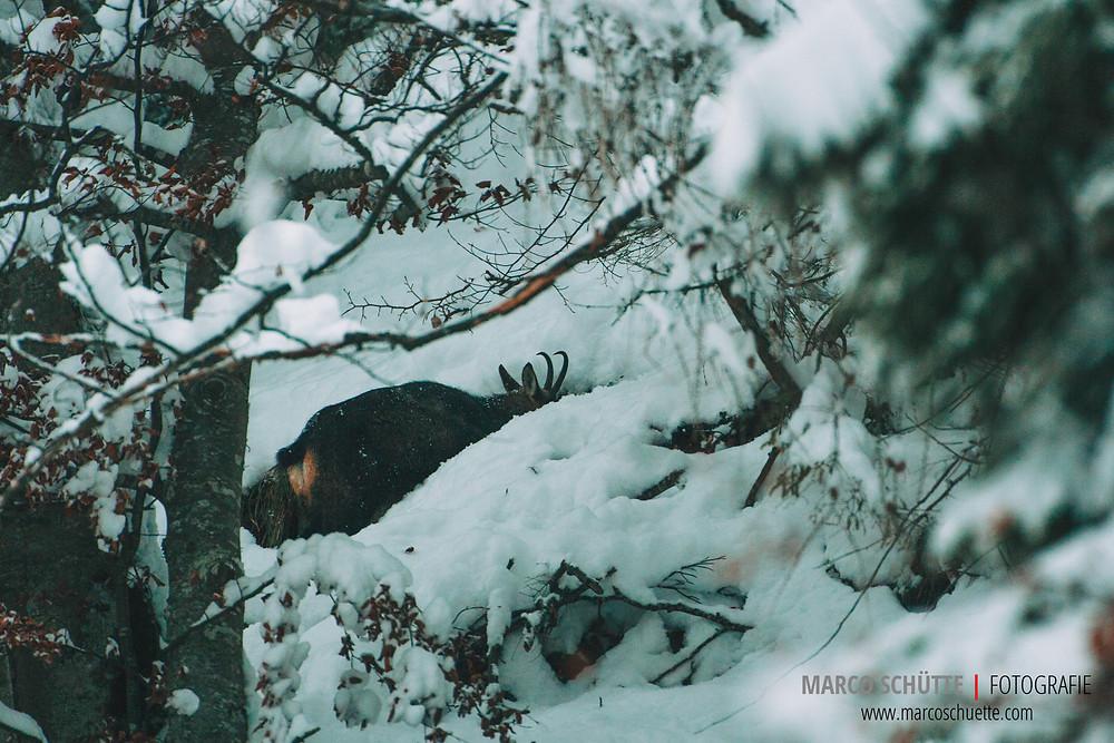 Gamsgeiß auf Nahrungssuche im hohen Schnee