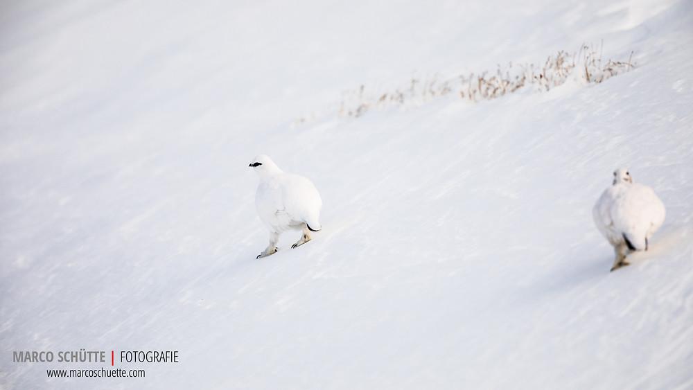Überraschend treffen wir auf fotogene Schneehühner