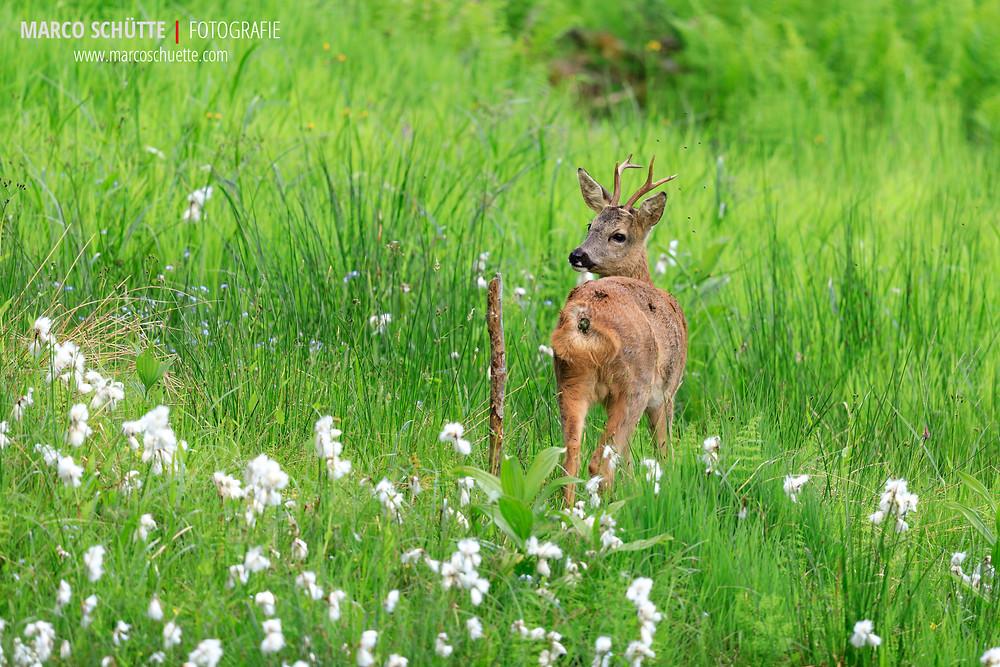 Ein junger Bock im Frühjahr, umgeben von blühendem Wollgras.