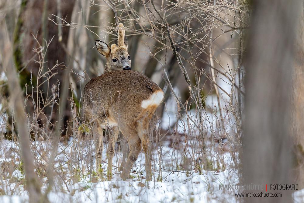 """Der """"Abnorme"""" von der Badenburg besitzt einen verkrüppelten und steifen linken Hinterlauf. Verletzungen von Rehböcken, aber auch Hirschen, spiegeln sich häufig in Abnormitäten im Gehörn (Geweih) wieder."""