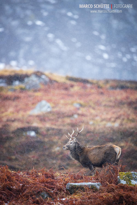 Junger Hirsch vor der Kulisse der schottischen Highlands im Winter.