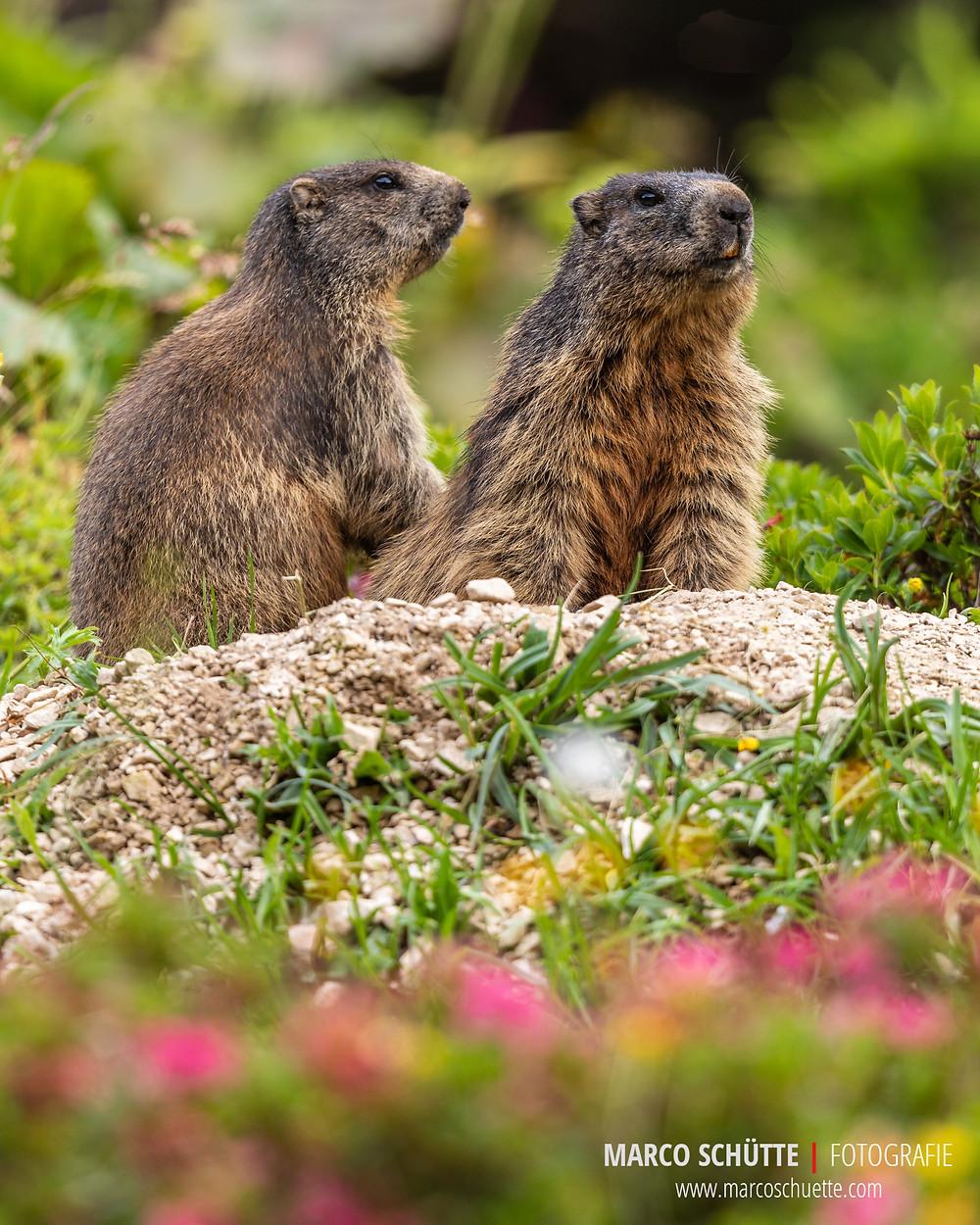 Murmeltiere mit blühenden Alpenrosen