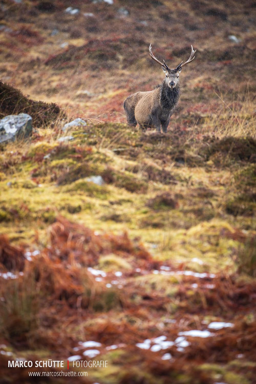 Rothirsch in der schottischen Heide.