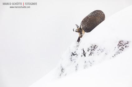 Gamsbock sucht Nahrung im Schneetreiben