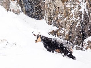 Gamsbock im Schneetreiben