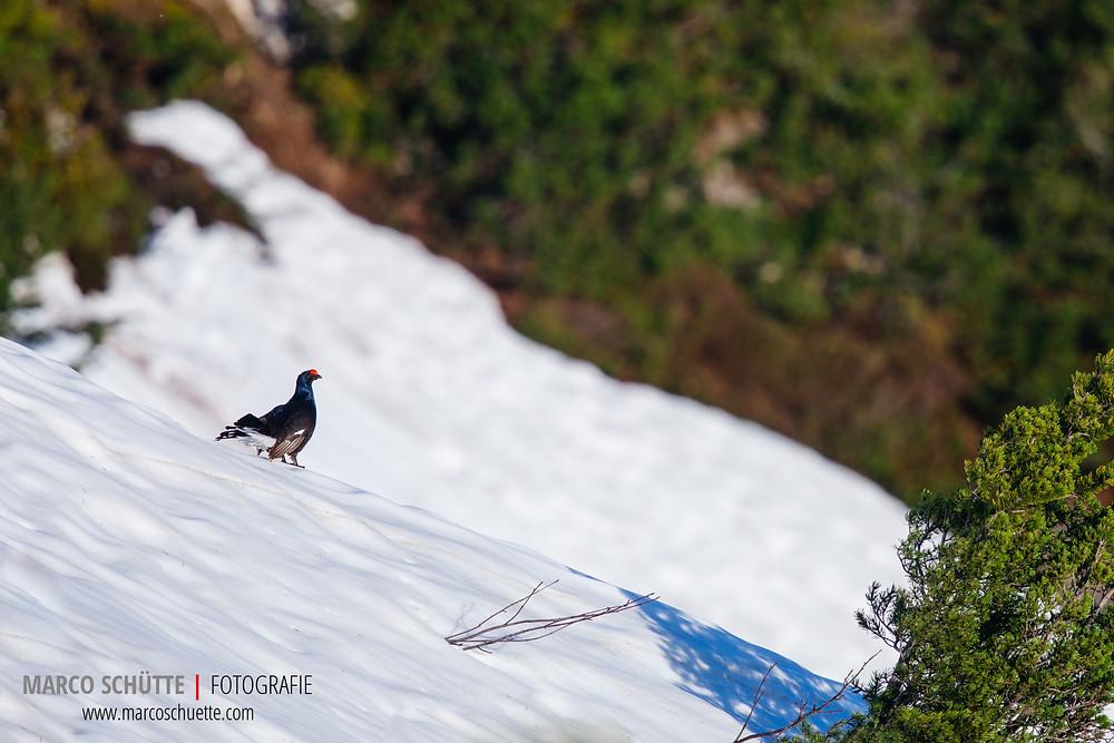 """Normalerweise bevorzugen Birkhähne Schneeflächen als Balzarena. Dort werden die Hennen """"tanzend"""" und """"singend"""" umworben und sich mit Nebenbuhlern gestritten. In diesem Jahr war der Schnee - trotz eines sehr schneereichen Winters - durch eine ungewöhnliche Wärmeperiode im April bereits stark  geschmolzen. Dieser Hahn nimmt eine der verbleibenden Flächen daher dankend an."""