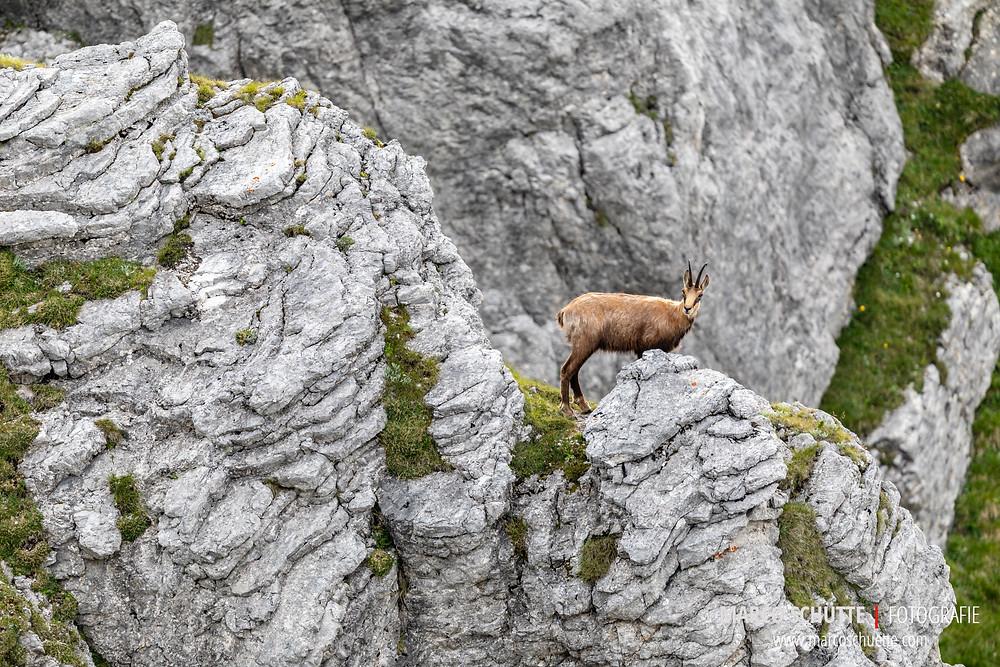 Gamsgeiß in den Felsen