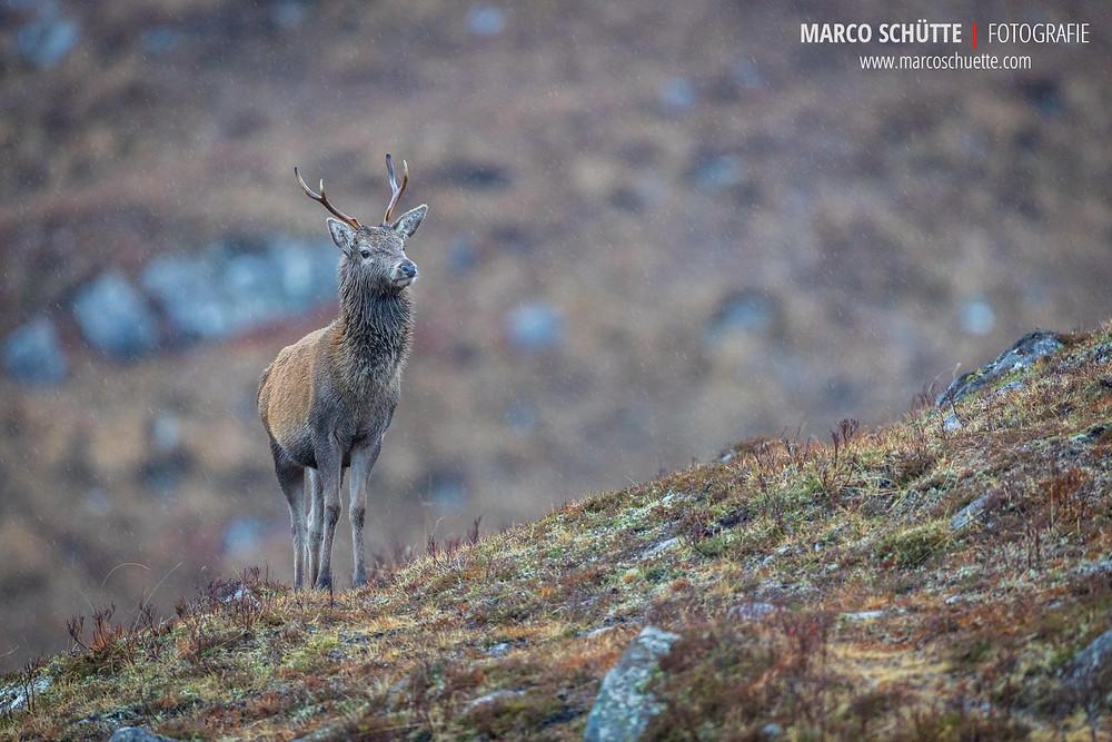 Junger Hirsch im schottischen Hochland.
