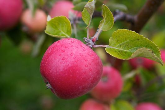 Braastad epler