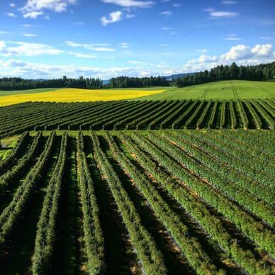 Tjerna gård - Bringebærproduksjon