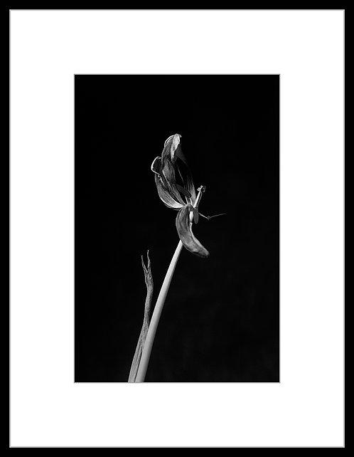 Dead Tulip #7