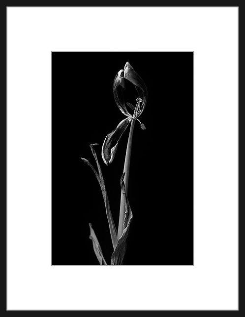 Dead Tulip #8