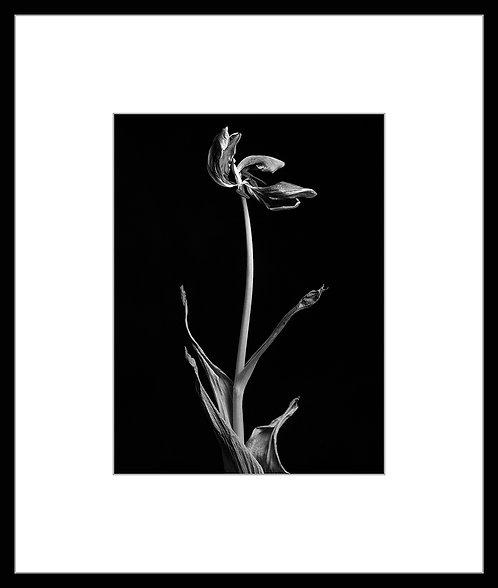 Dead Tulip #2