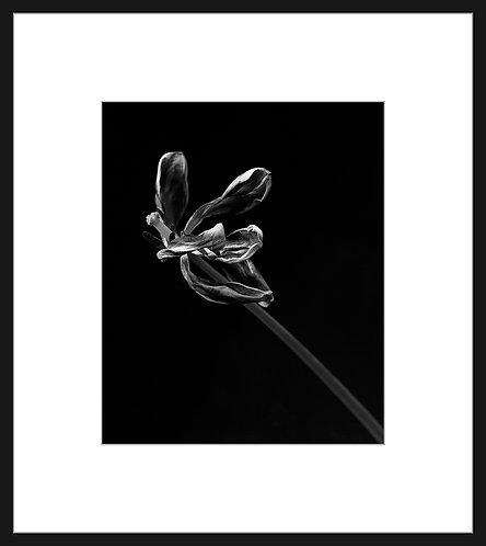 Dead Tulip #3