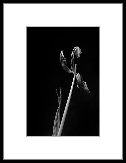 Dead Tulip #6