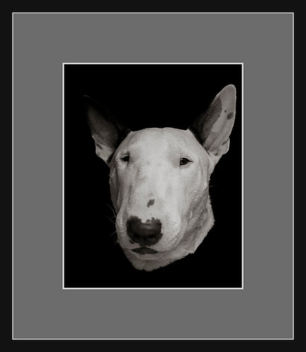 Bull Terrier #3