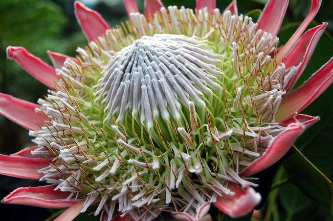 Kirstenbosch - Indigenous Plant Life - Circa Hotel