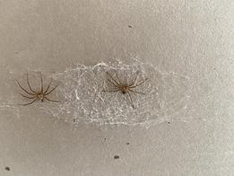 Brown recluse Spider Exoskeleten.HEIC