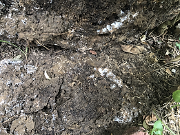 Live Subterranean Termites.HEIC