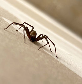 Brown Recluse Spider 1.HEIC