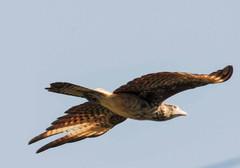 Aguila volando.jpg