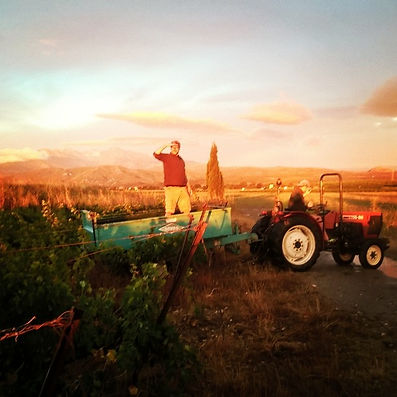 #Syrah #harvest #trouillas #cotesdurouss