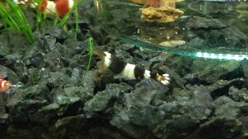 Caridinas CBS (cristal black shrimp) grado S