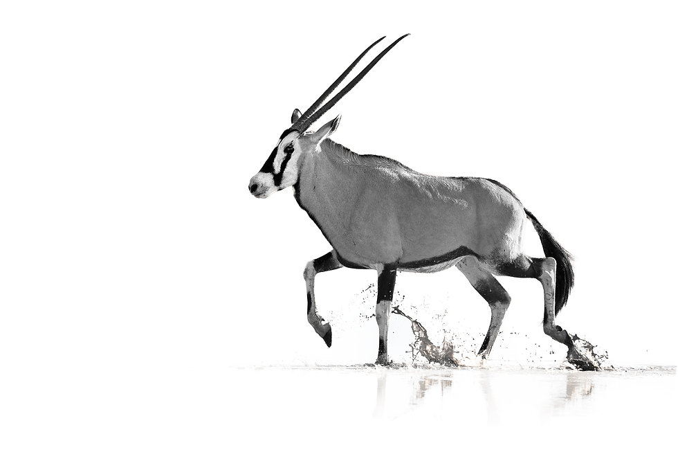 Oryx wading in water