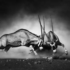 oryxes fighting
