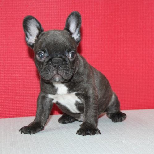 AKC Bob- French Bulldog Boy