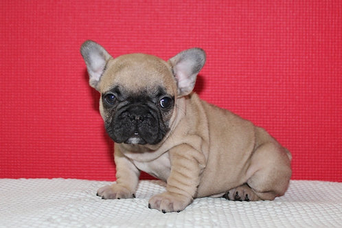 AKC Robbie - French Bulldog Boy