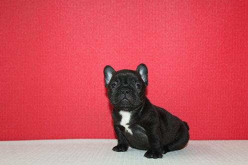AKC Alexa - French Bulldog Girl