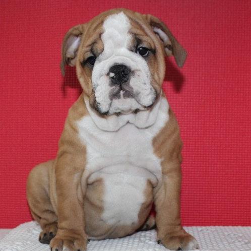 AKC TAYLOR- English Bulldog Boy