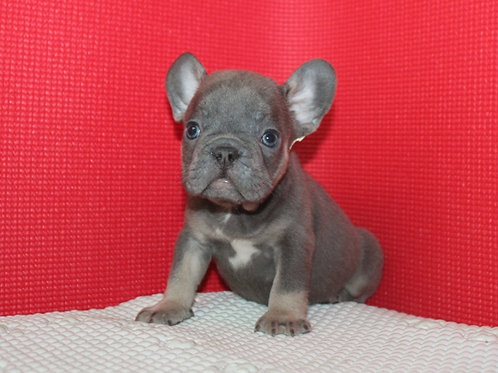 AKC Ricky - French Bulldog Boy
