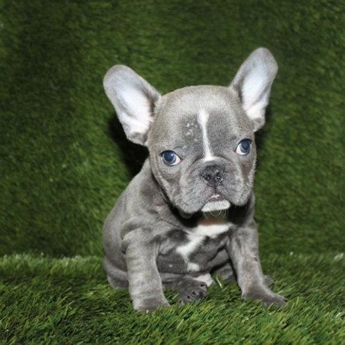 AKC Dexter - French Bulldog Boy