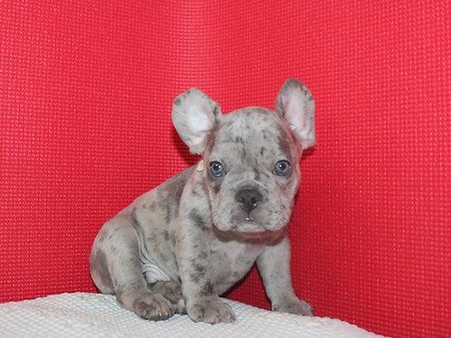 AKC Marty - French Bulldog Boy