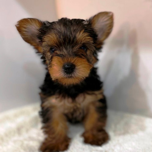 Ronald - Yorkshire Terrier Male