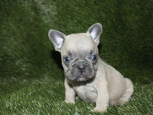 AKC Pure - French Bulldog Boy