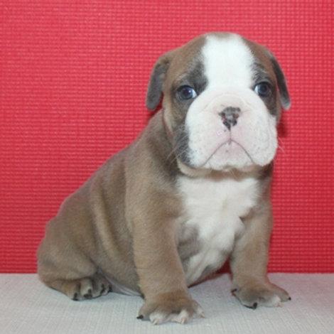 AKC Lilac- English Bulldog Boy