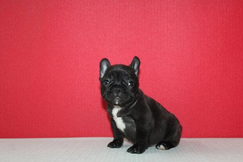 AKC Faby - French Bulldog Girl