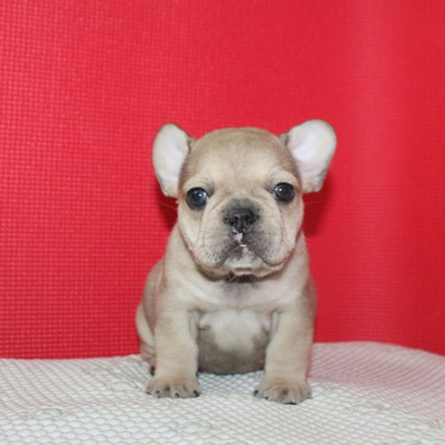 AKC Ringo - French Bulldog Boy
