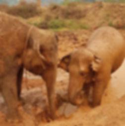 Two elephants enjoying the mud