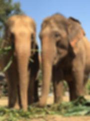 Two elephants eating corn together