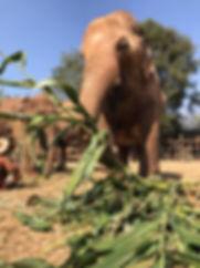 An elephant enjoying some corn.