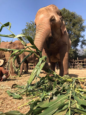 An elephant enjoying some corn.
