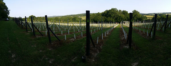 Wildwood vineyard2.jpg