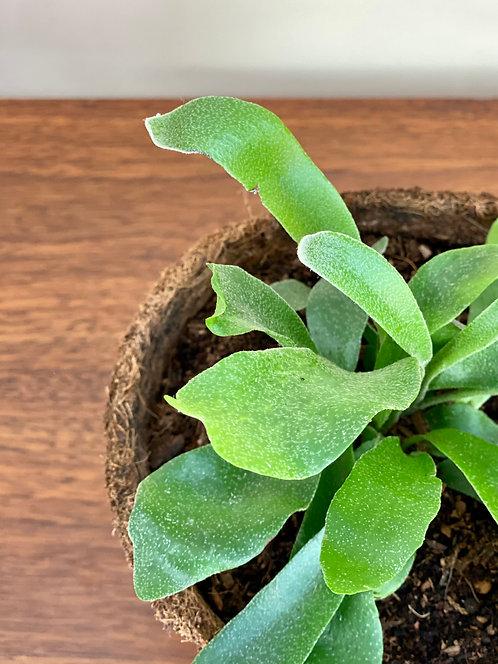 Platycerium bifurcatum.